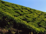 Tea Hills of Munnar